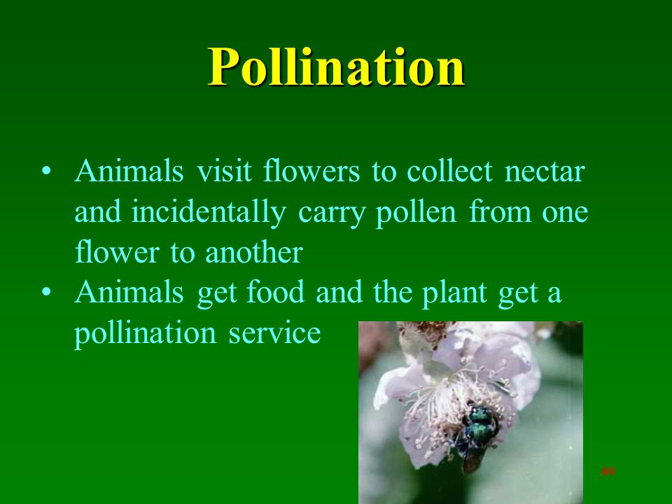 60 Pollination Animals visit flowers to collect nectar and incidentally carry pollen from one flower to another Animals get food and the plant get a pollination service