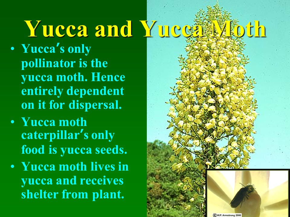 61 Yucca ' s only pollinator is the yucca moth. Hence entirely dependent on it for dispersal.