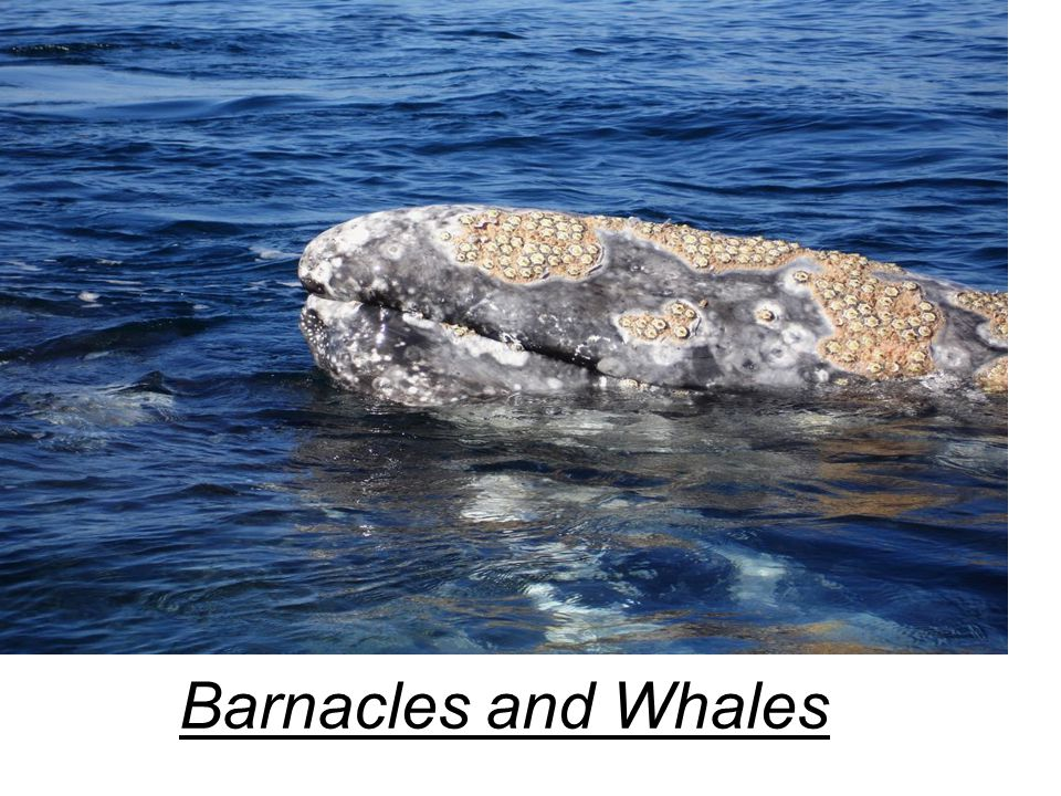 Barnacles and Whales