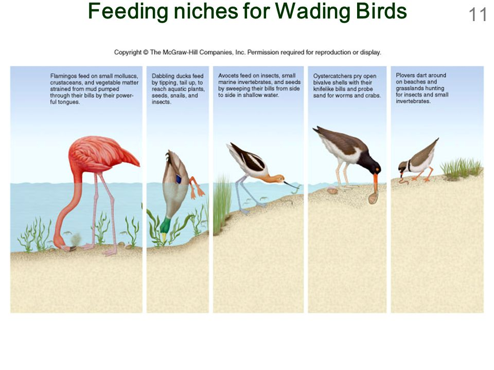 11 Feeding niches for Wading Birds