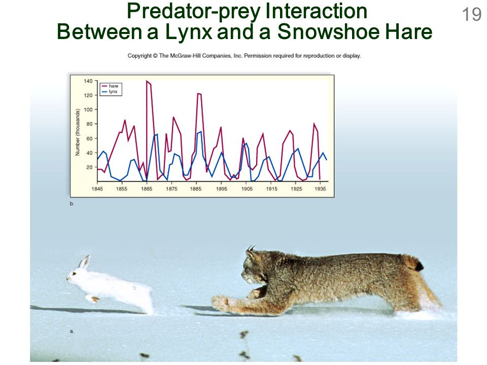 19 Predator-prey Interaction Between a Lynx and a Snowshoe Hare