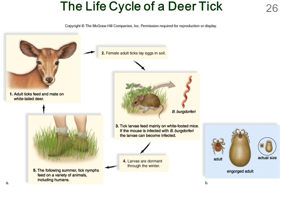 26 The Life Cycle of a Deer Tick