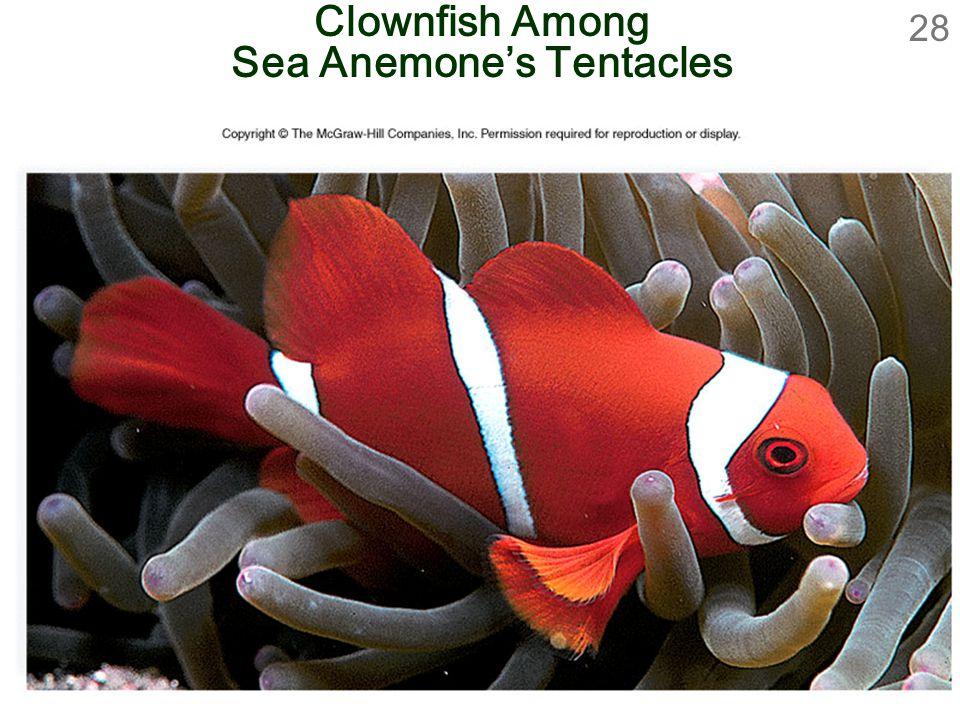 28 Clownfish Among Sea Anemone's Tentacles