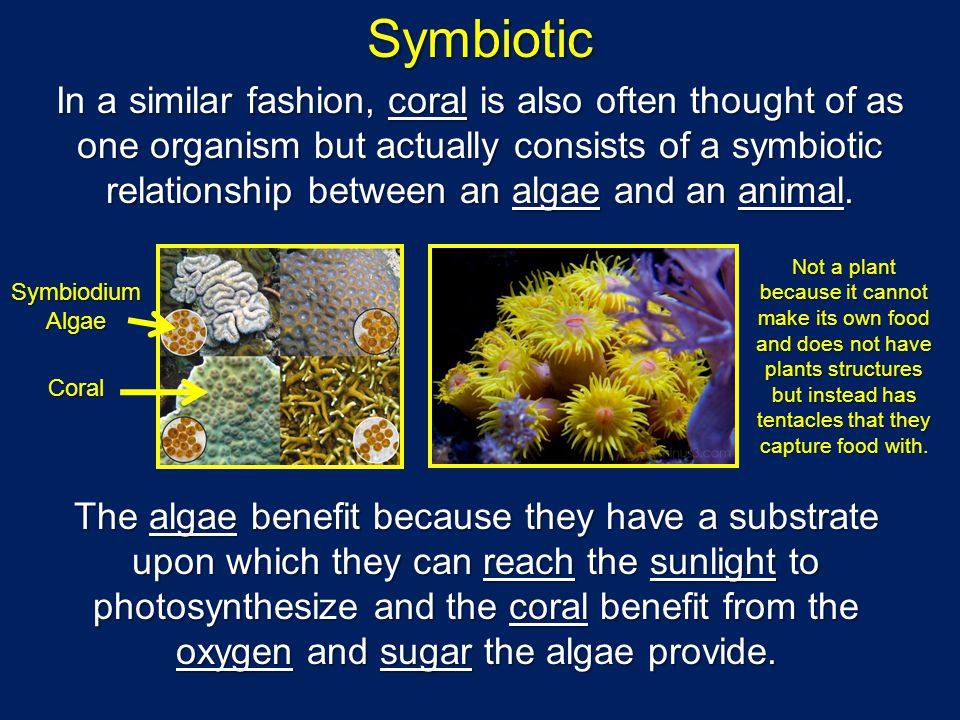 Symbiotic In a similar fashion, coral is also often thought of as one organism but actually consists of a symbiotic relationship between an algae and an animal.