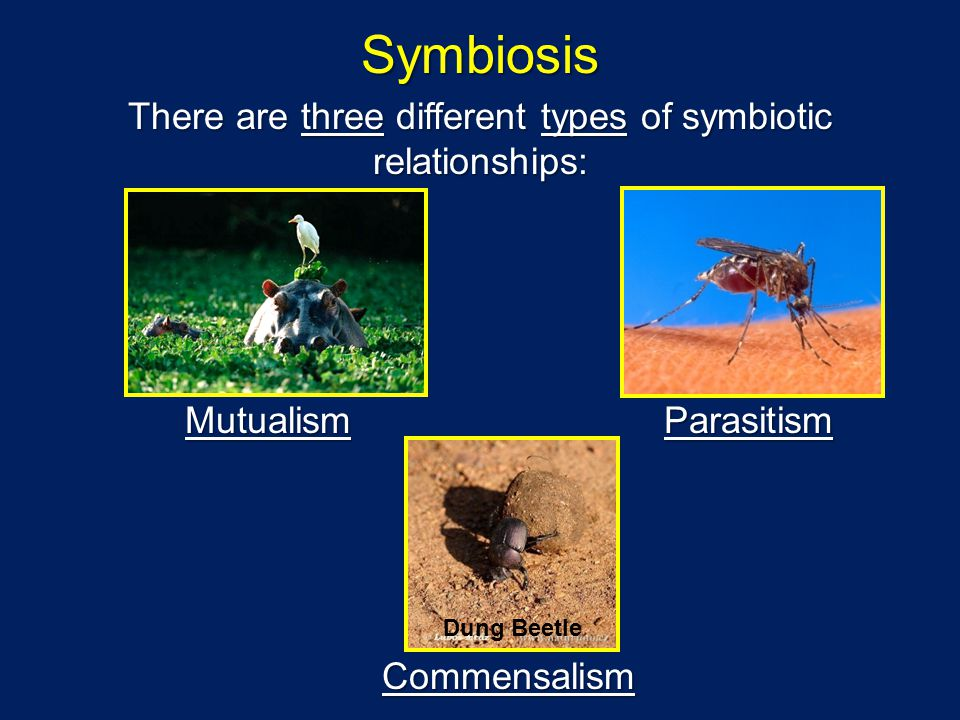 Symbiosis There are three different types of symbiotic relationships: MutualismParasitism Commensalism Dung Beetle