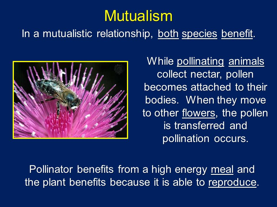 Mutualism In a mutualistic relationship, both species benefit. While pollinating animals collect nectar, pollen becomes attached to their bodies. When