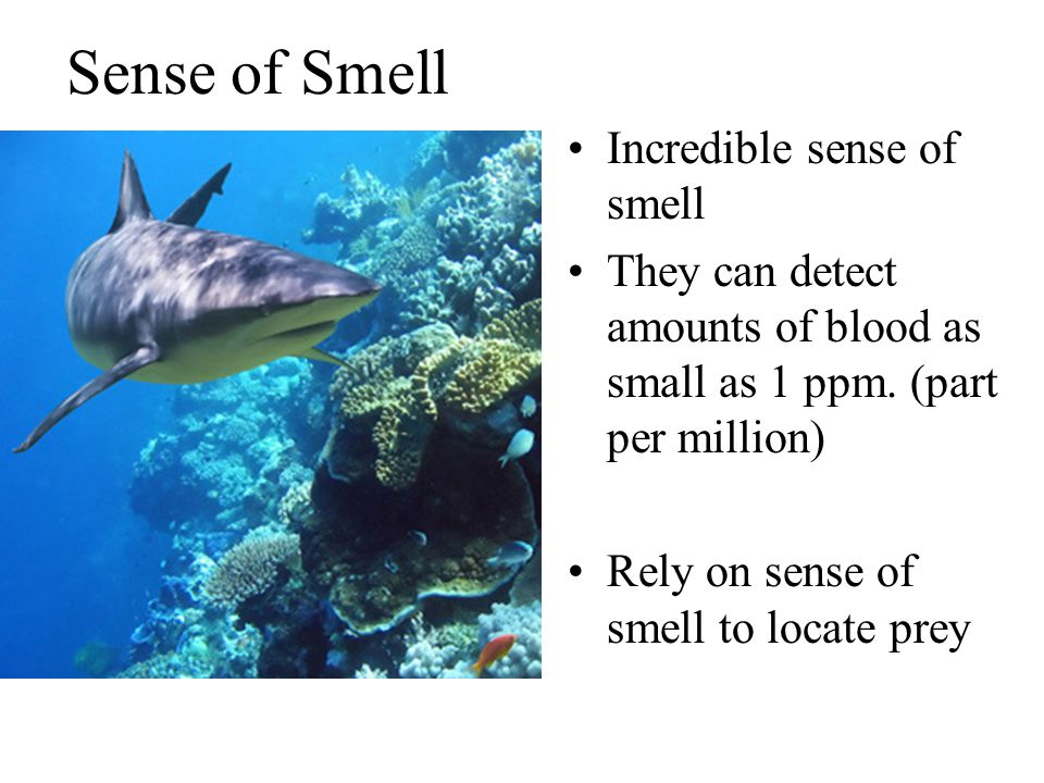 Sense of Smell Incredible sense of smell They can detect amounts of blood as small as 1 ppm.