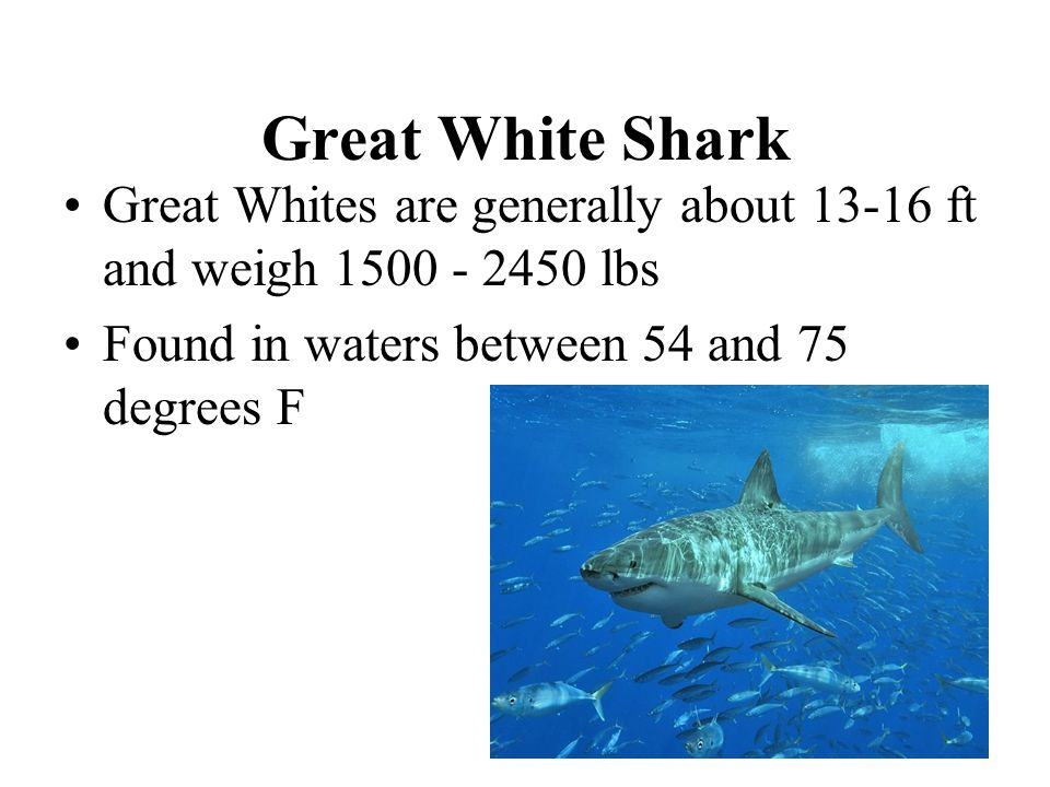 Great White Shark Great Whites are generally about 13-16 ft and weigh 1500 - 2450 lbs Found in waters between 54 and 75 degrees F