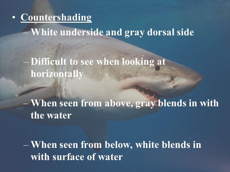 Countershading –White underside and gray dorsal side –Difficult to see when looking at horizontally –When seen from above, gray blends in with the water –When seen from below, white blends in with surface of water