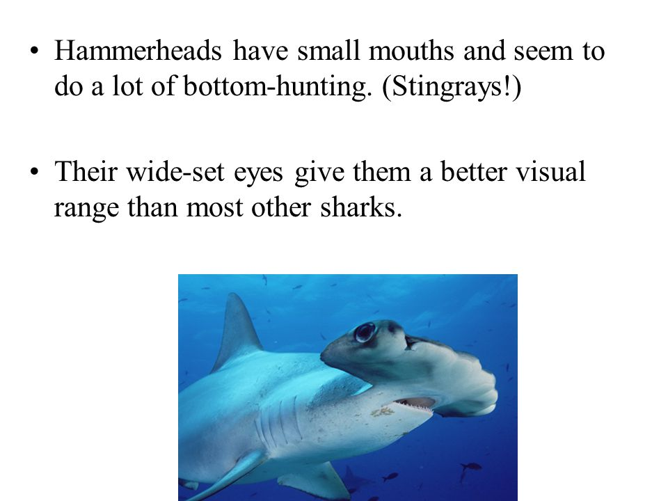 Hammerheads have small mouths and seem to do a lot of bottom-hunting.