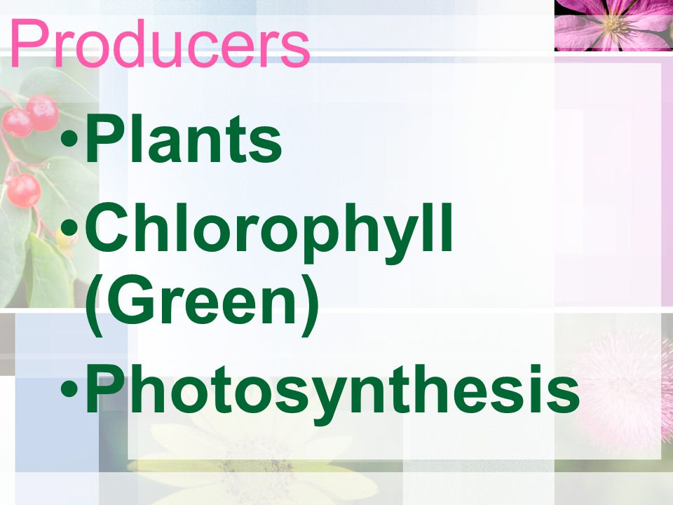 Producers Plants Chlorophyll (Green) Photosynthesis