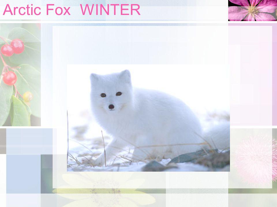 Arctic Fox WINTER