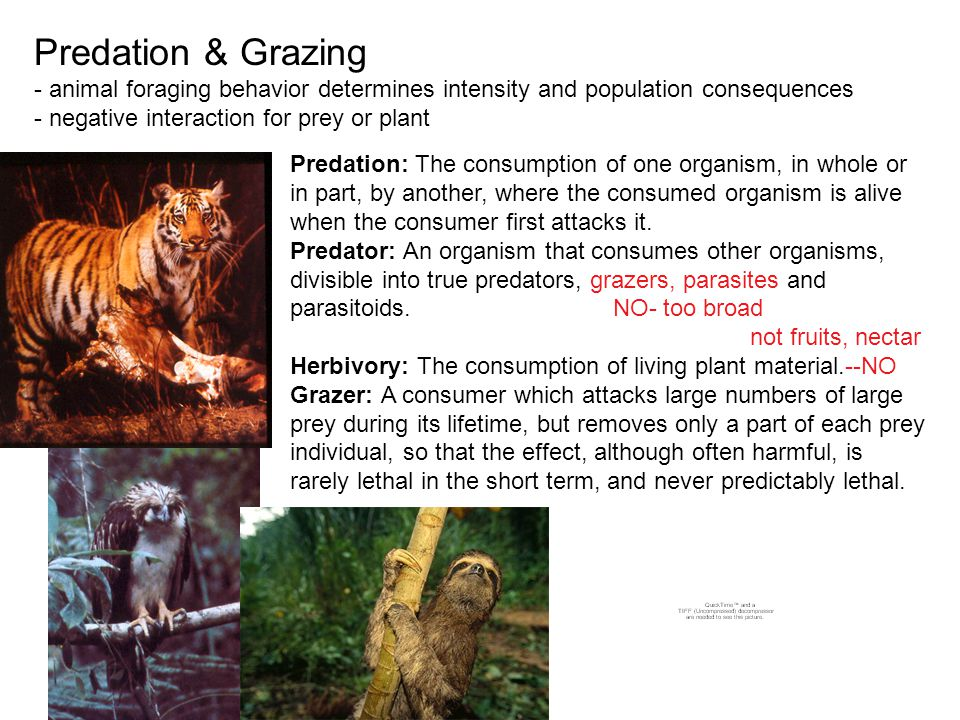 Predation & Grazing - animal foraging behavior determines intensity and population consequences - negative interaction for prey or plant Predation: The consumption of one organism, in whole or in part, by another, where the consumed organism is alive when the consumer first attacks it.