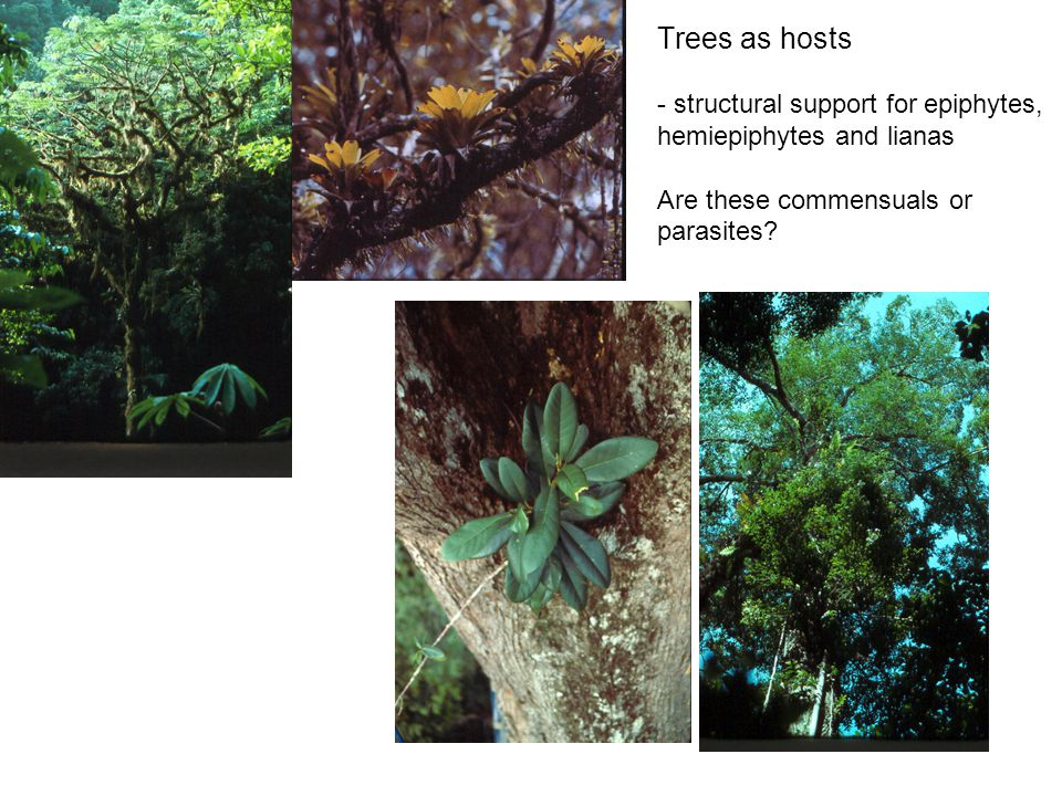 Trees as hosts - structural support for epiphytes, hemiepiphytes and lianas Are these commensuals or parasites?