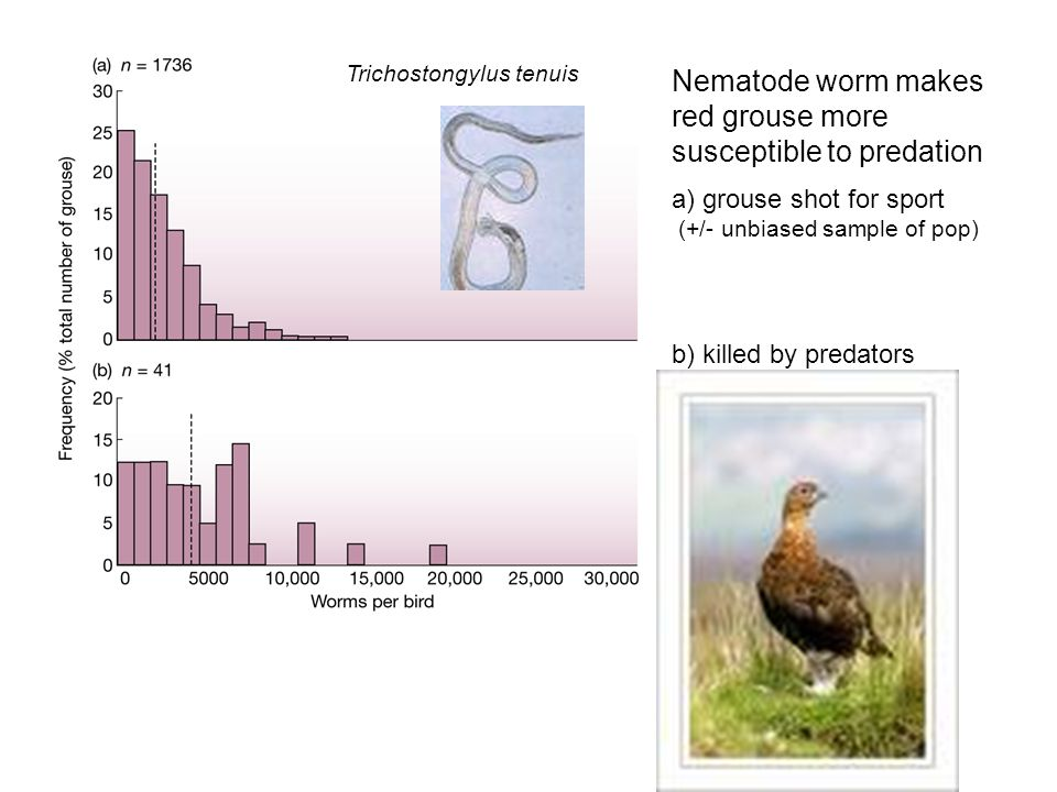 Nematode worm makes red grouse more susceptible to predation a) grouse shot for sport (+/- unbiased sample of pop) b) killed by predators Trichostongylus tenuis