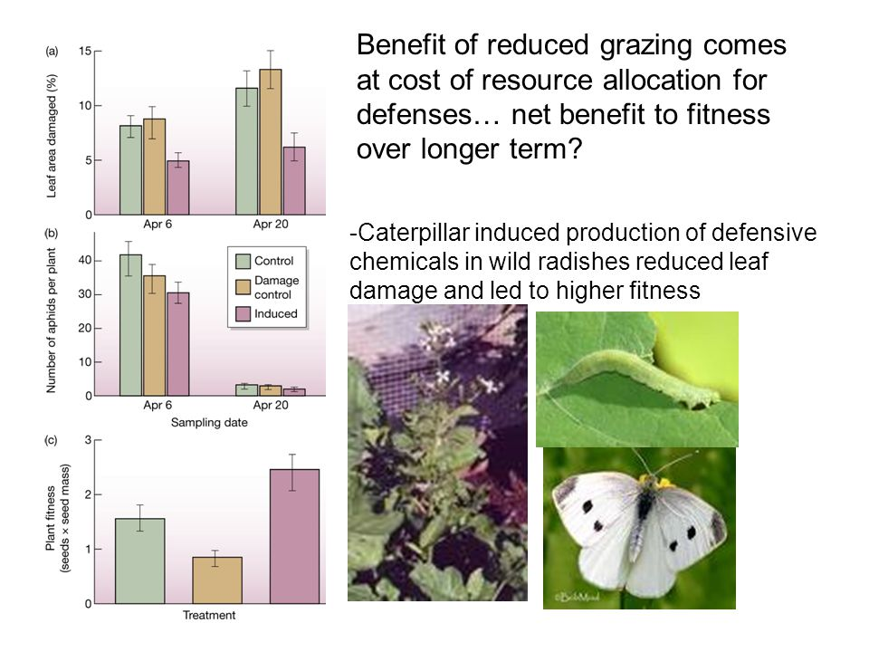 -Caterpillar induced production of defensive chemicals in wild radishes reduced leaf damage and led to higher fitness Benefit of reduced grazing comes at cost of resource allocation for defenses… net benefit to fitness over longer term?