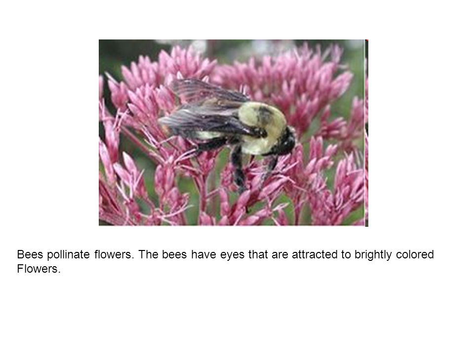 Bees pollinate flowers. The bees have eyes that are attracted to brightly colored Flowers.