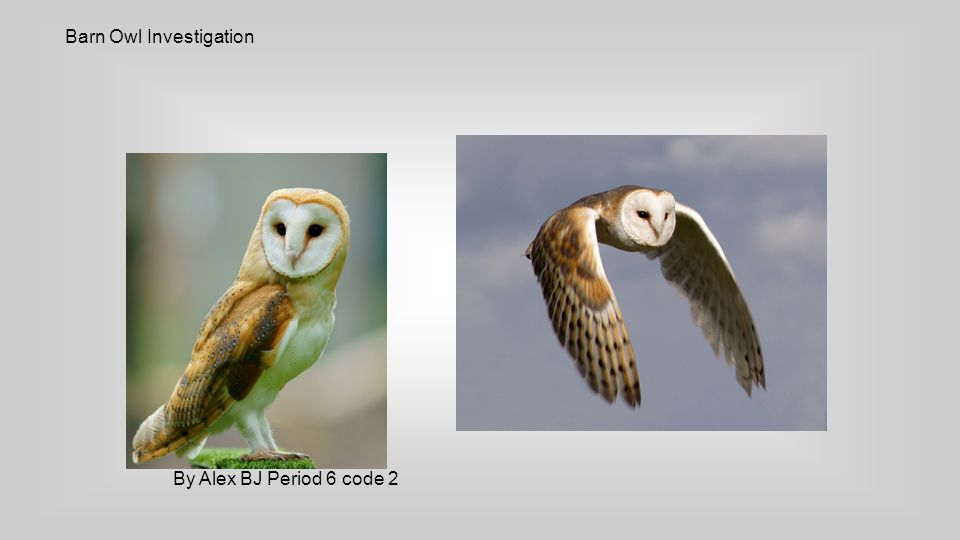 Barn Owl Investigation By Alex BJ Period 6 code 2