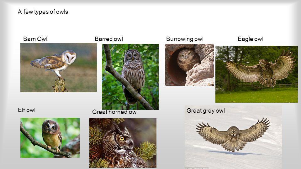 A few types of owls Barn OwlBarred owlBurrowing owlEagle owl Elf owl Great horned owl Great grey owl