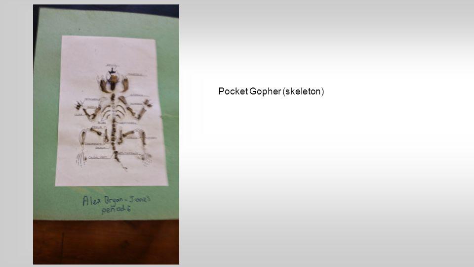 Pocket Gopher (skeleton)