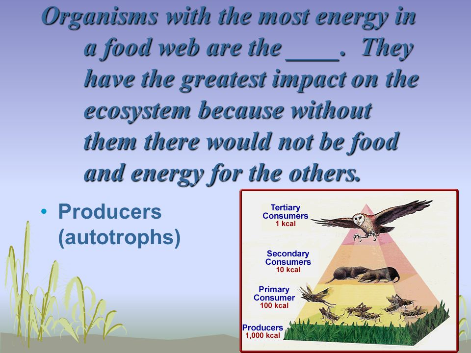 Organisms with the most energy in a food web are the ____. They have the greatest impact on the ecosystem because without them there would not be food