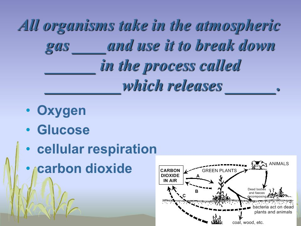 All organisms take in the atmospheric gas ____and use it to break down ______ in the process called _________which releases ______. Oxygen Glucose cel