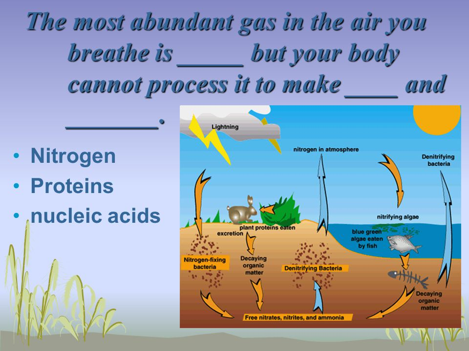 The most abundant gas in the air you breathe is _____ but your body cannot process it to make ____ and _______. Nitrogen Proteins nucleic acids