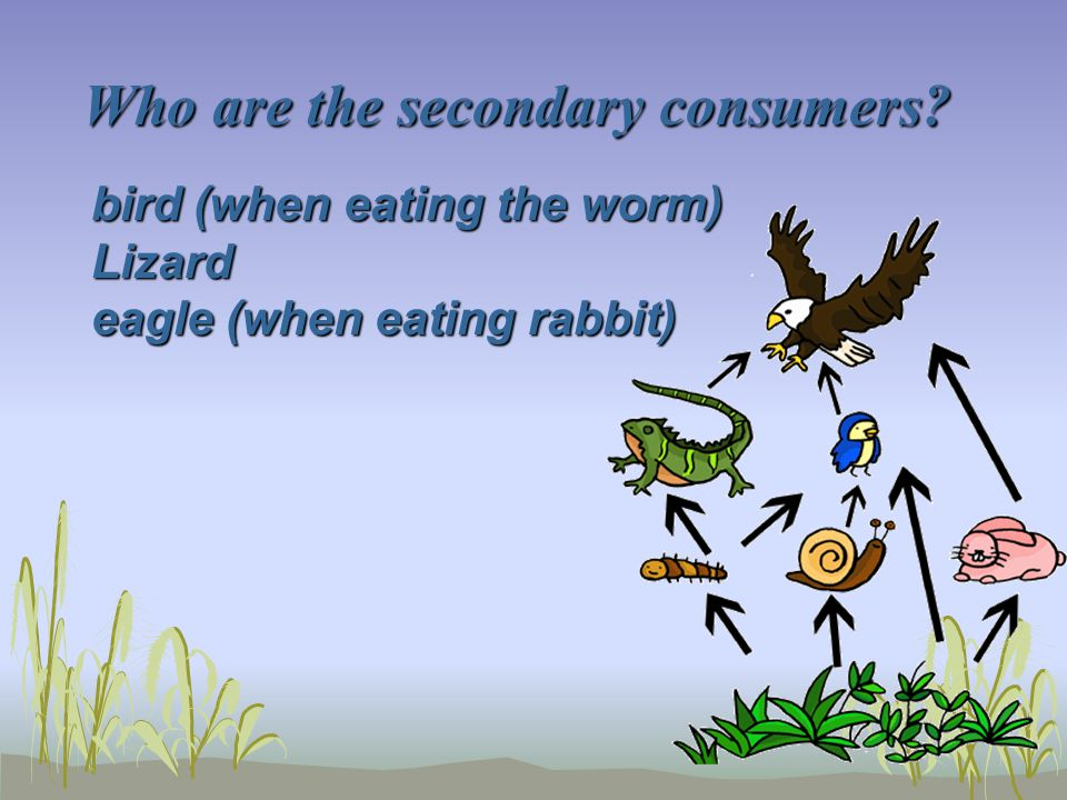 Who are the secondary consumers? bird (when eating the worm) Lizard eagle (when eating rabbit)