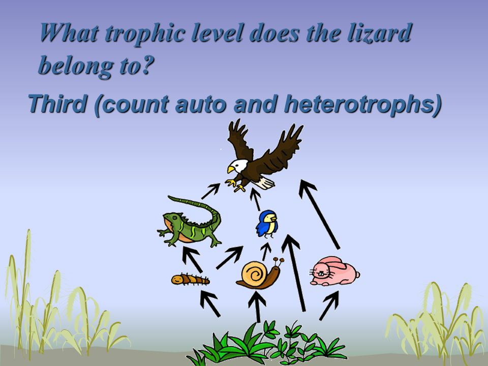 What trophic level does the lizard belong to? Third (count auto and heterotrophs)
