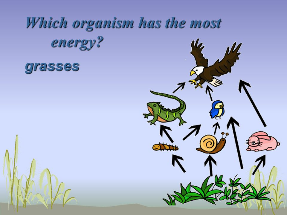 Which organism has the most energy? grasses