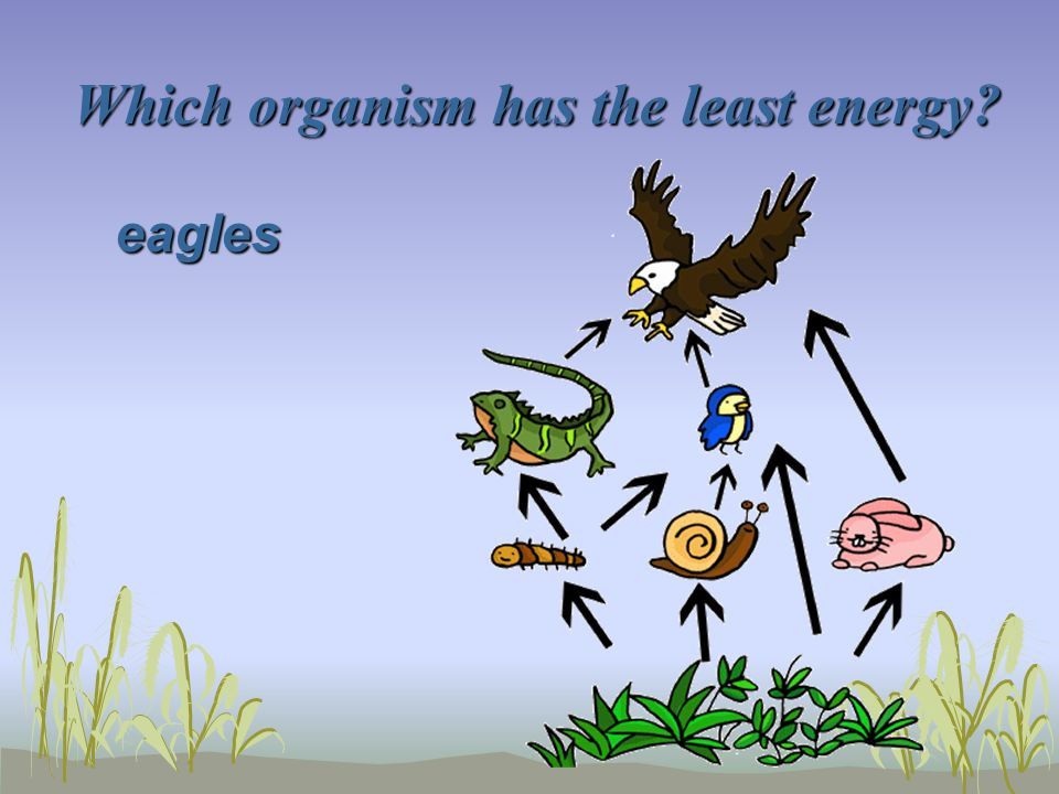 Which organism has the least energy? eagles