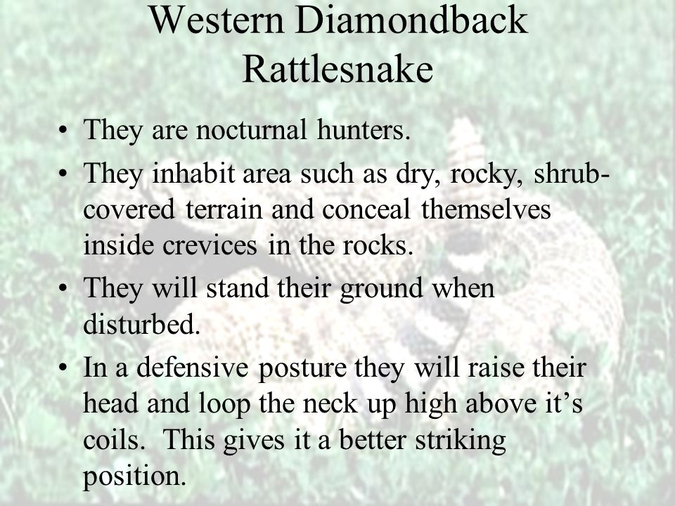 Western Diamondback Rattlesnake They are aggressive and excitable.