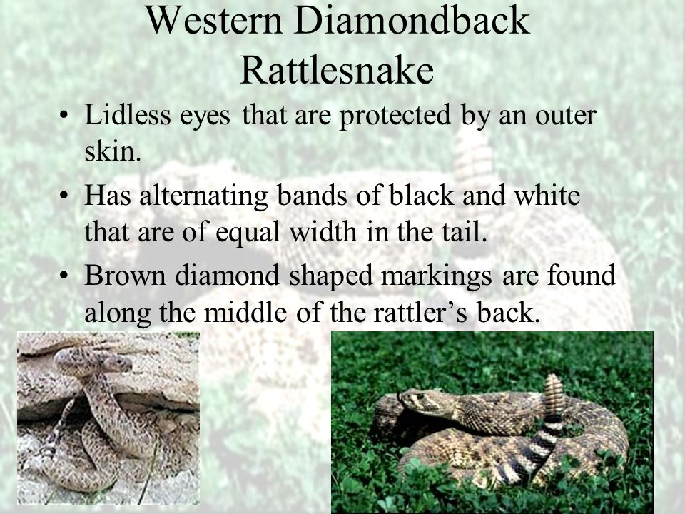 Western Diamondback Rattlesnake They are nocturnal hunters.