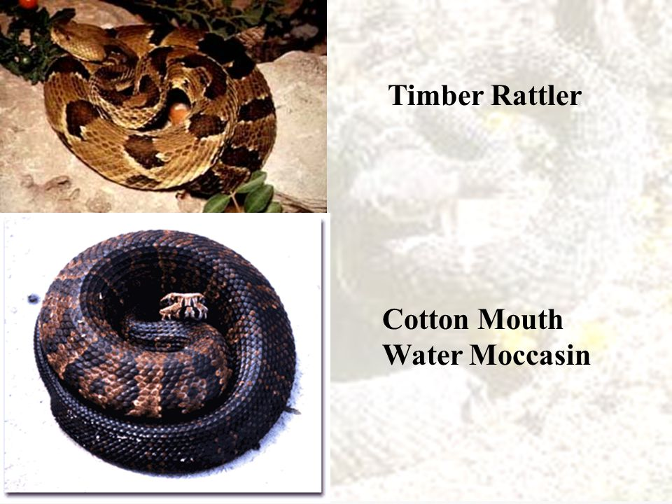Cottonmouth Water moccasin Their mouths will snap shut when touched like a trap.