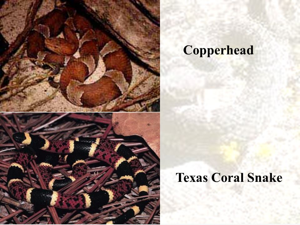 Texas Coral Snake Copperhead
