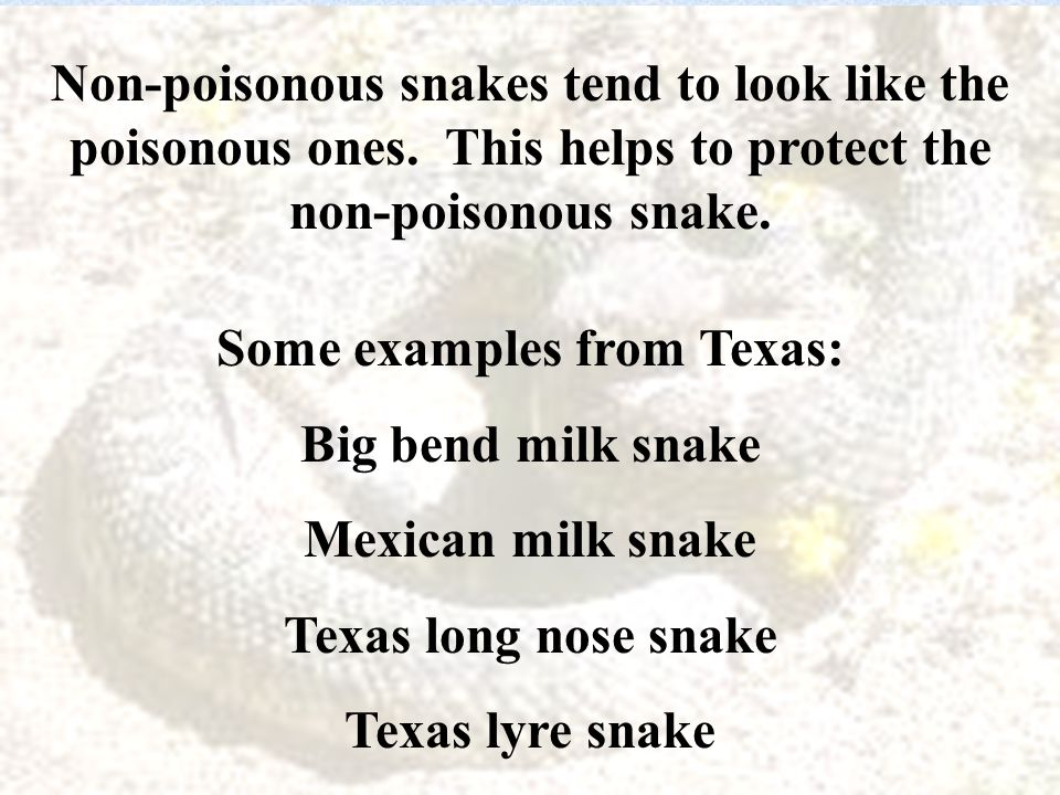 Pit Viper Management –Bring the snake to the hospital for identification DEAD.