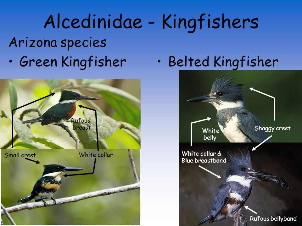 Alcedinidae - Kingfishers 6 New World Species (Cerylinae) 3 of those occur in the US 2 of those occur in Arizona