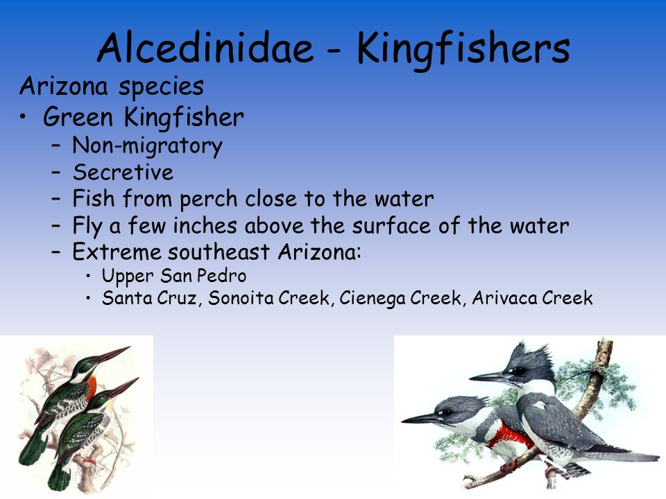 Alcedinidae - Kingfishers Arizona species Green Kingfisher Belted Kingfisher Small crest White collar White collar & Blue breastband Rufous bellyband White belly Rufous breast Shaggy crest