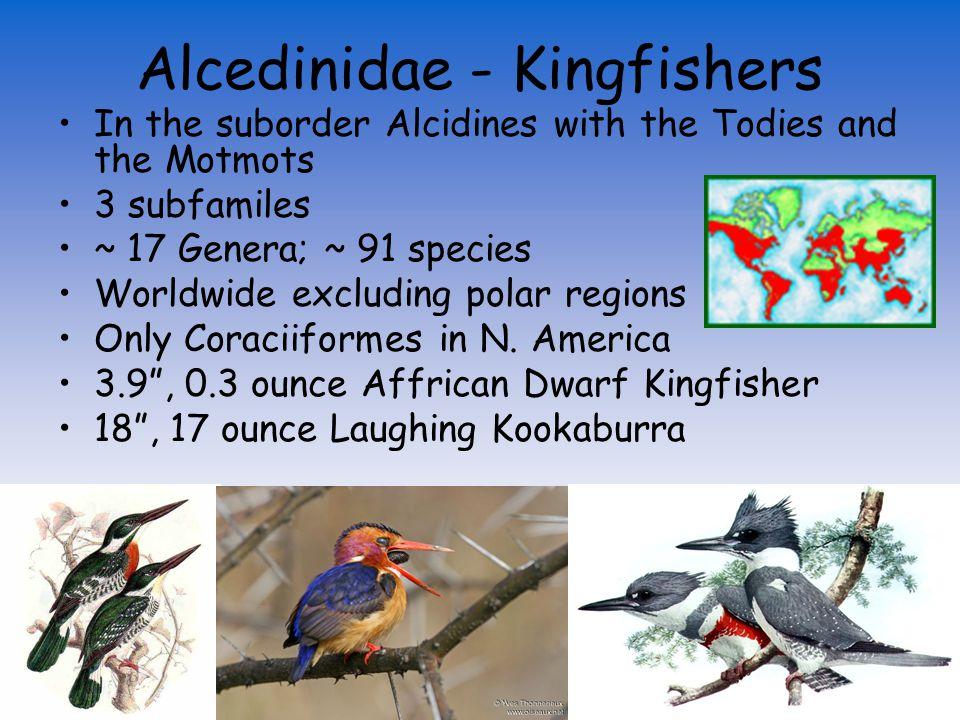 Alcedinidae (Kingfishers) Meropidae (Bee-eaters) Coraciiformes Momotidae (Motmots) Todidae (Todies) Leptosomatidae (Cuckoo-roller) Coraciidae (Rollers) Brachypteraciidae (Ground Rollers) Phoeniculidae (Woodhoopoes) Bucerotidae (Hornbills) Coliiformes Trogoniformes Upupidae (Hoopoes)