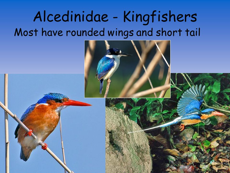 Alcedinidae - Kingfishers Large heads with long thick bills and short necks