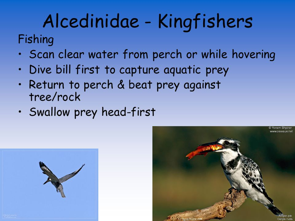 Alcedinidae - Kingfishers Small, syndactyl feet