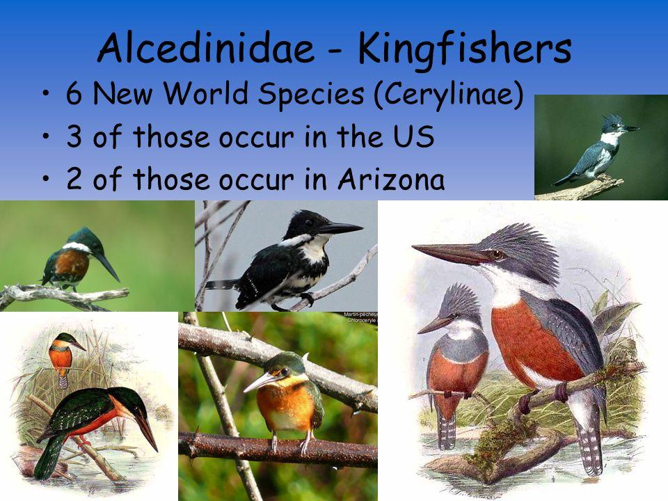 Alcedinidae Momotidae (Motmots) Todidae (Todies) Cerylinae – Water Kingfishers 3 Genera; 9 spp.