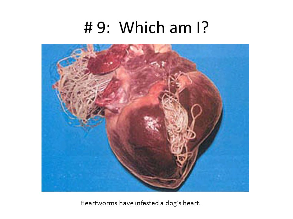 # 9: Which am I? Heartworms have infested a dog's heart.