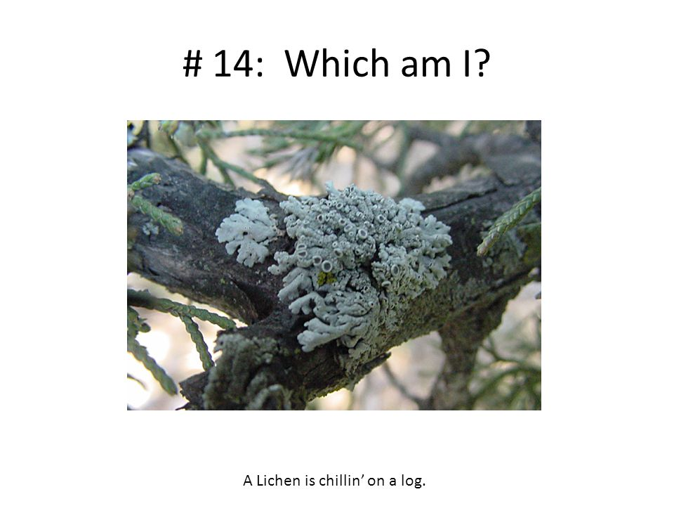 # 14: Which am I? A Lichen is chillin' on a log.