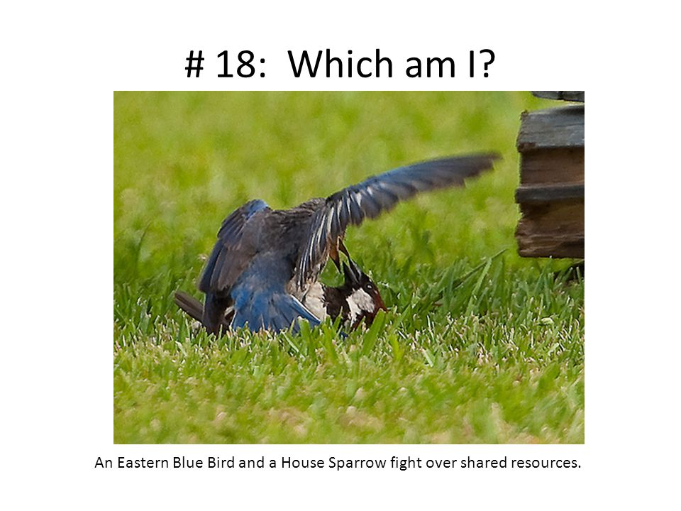 # 18: Which am I? An Eastern Blue Bird and a House Sparrow fight over shared resources.