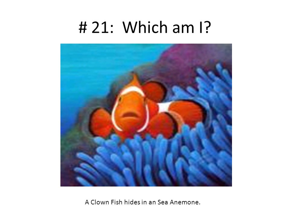 # 21: Which am I? A Clown Fish hides in an Sea Anemone.