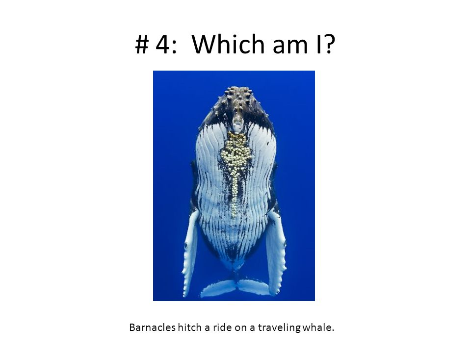# 4: Which am I? Barnacles hitch a ride on a traveling whale.