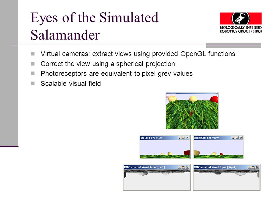 Eyes of the Simulated Salamander Virtual cameras: extract views using provided OpenGL functions Correct the view using a spherical projection Photoreceptors are equivalent to pixel grey values Scalable visual field