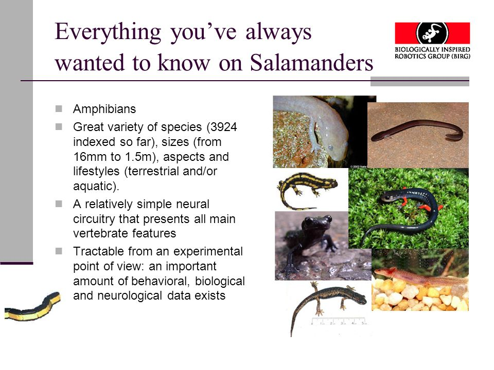 Everything you've always wanted to know on Salamanders Amphibians Great variety of species (3924 indexed so far), sizes (from 16mm to 1.5m), aspects and lifestyles (terrestrial and/or aquatic).