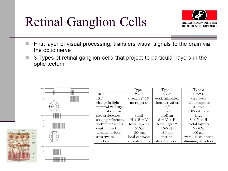 Retinal Ganglion Cells First layer of visual processing, transfers visual signals to the brain via the optic nerve 3 Types of retinal ganglion cells that project to particular layers in the optic tectum